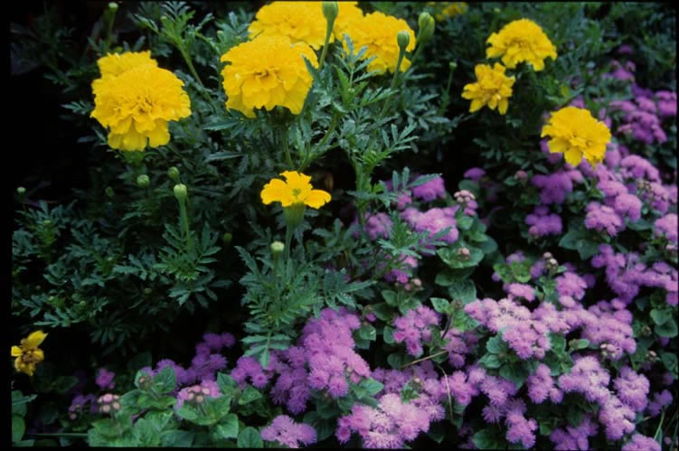 Marigolds and Ageratum