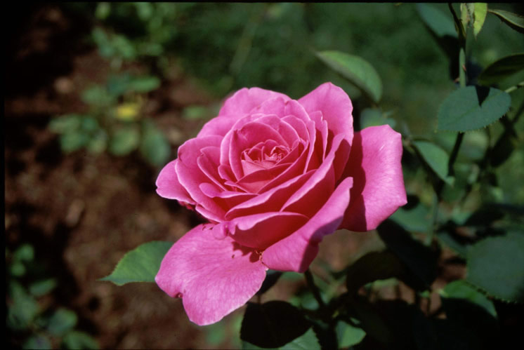 Pink Peace Hybrid Tea Rose